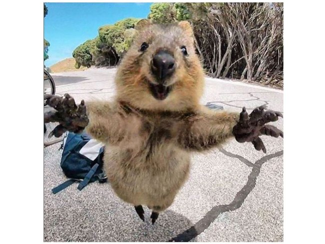 monday-quokka