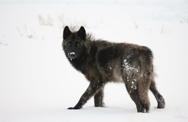 wolf-1364255