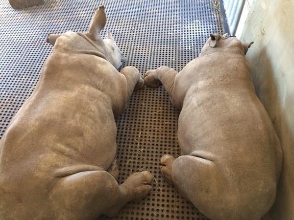 rhino-babies