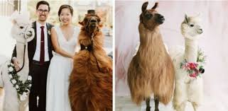 Monday-llama-wedding-2