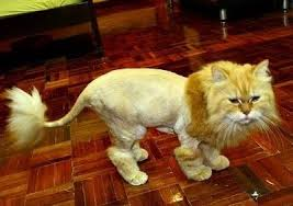 Monday-shaved-cat-2