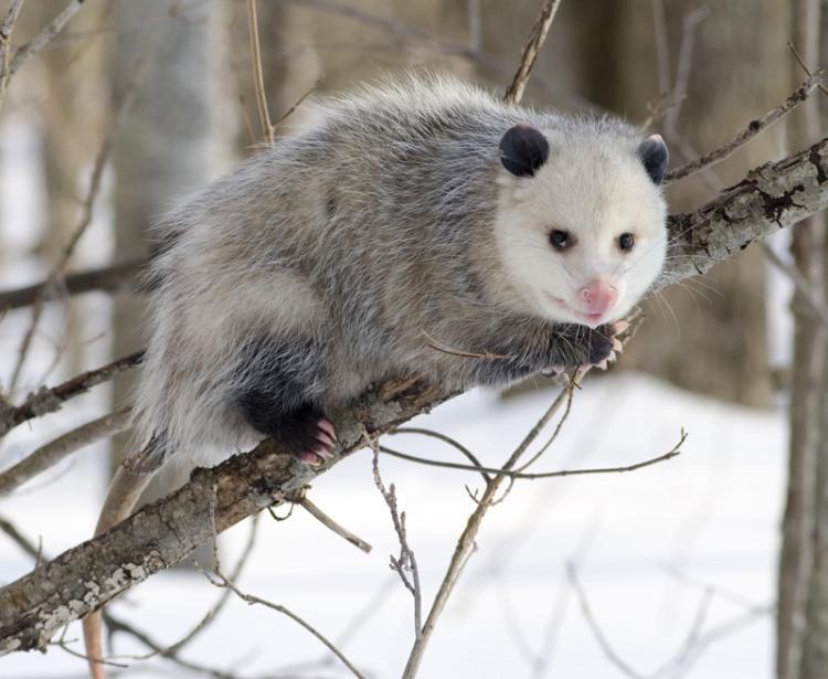 Monday-Opossum