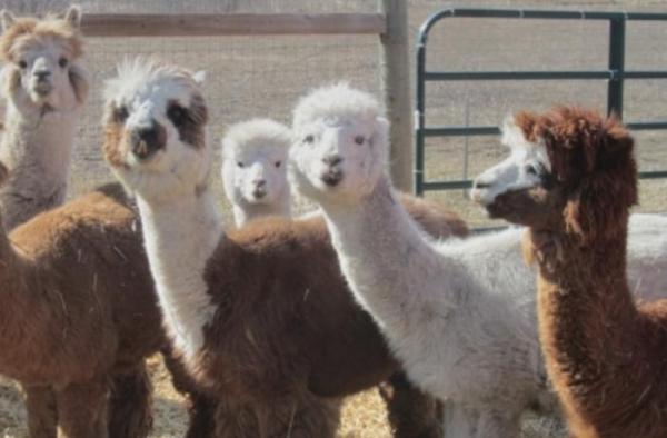 Monday-alpaca