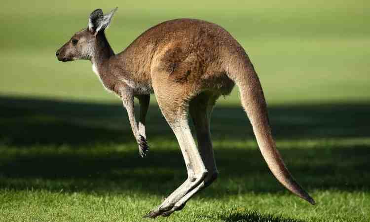 Monday-kangaroo.jpg