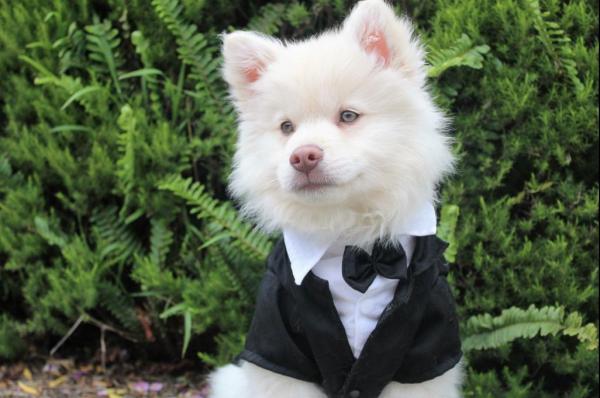 dog-tux