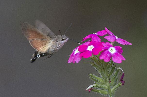 hawk-moth-1