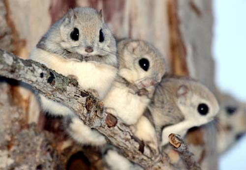 Japanese-dwarf-flying-squirrels