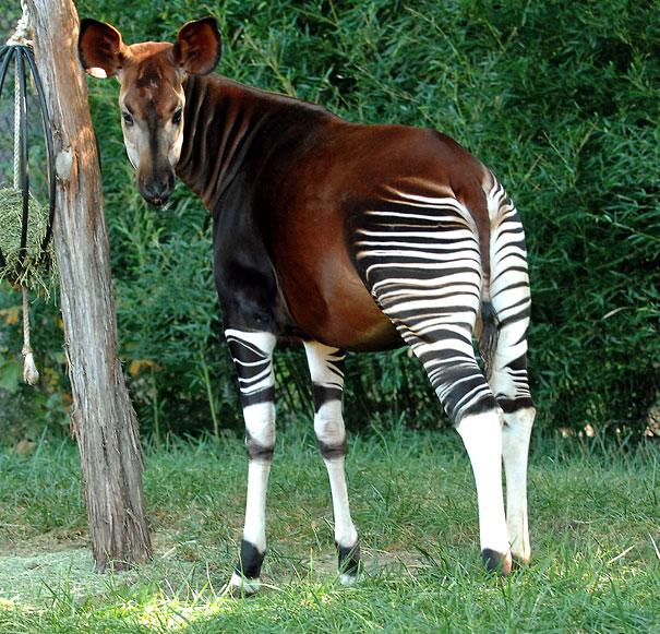 Okapi-1.jpg