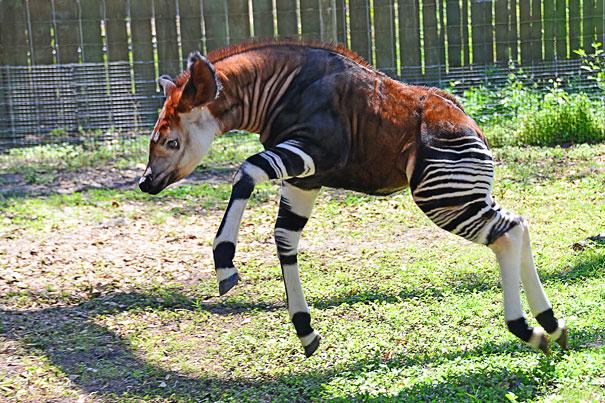 Okapi-2