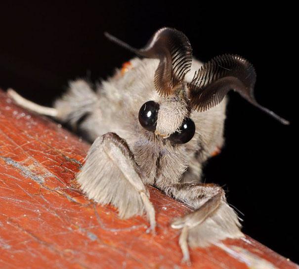 poodle-moth-1