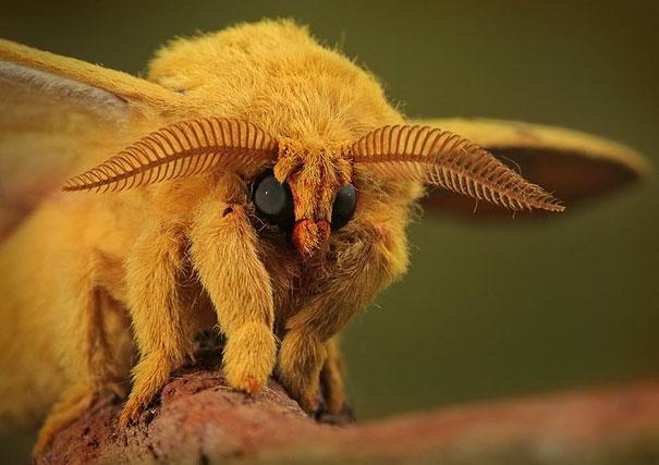 poodle-moth-2