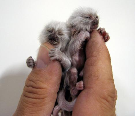 pygmy-marmosets