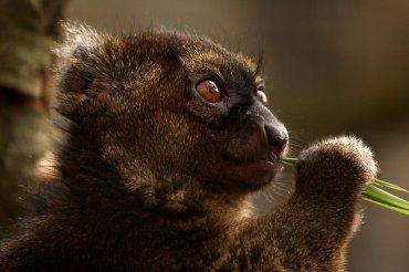 bamboo lemur 2