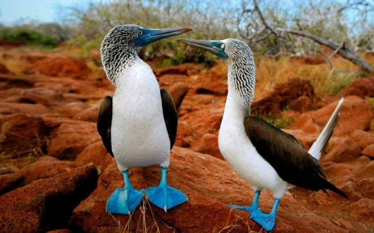 blue footed booby 2.jpg