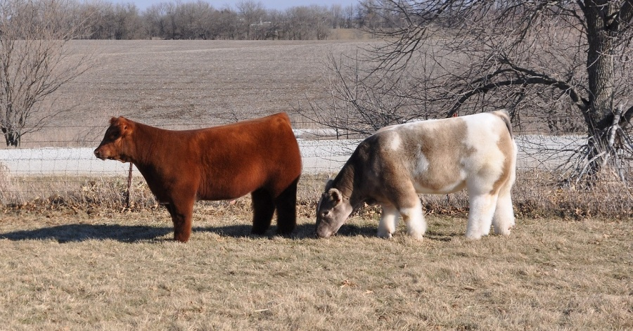 fluffy cows