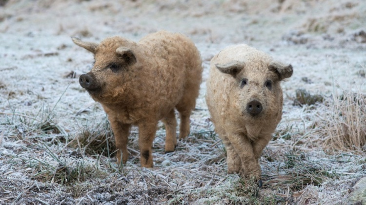 Fluffy pigs