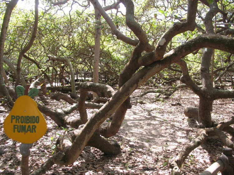 cashew-tree-2.JPG