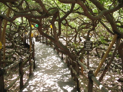 cashew-tree-3.JPG