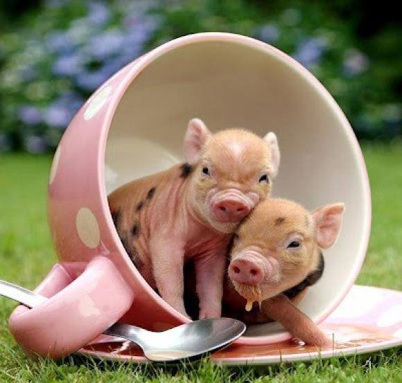 teacup pigs.jpg