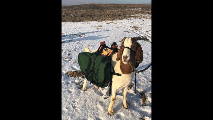 goat caddy