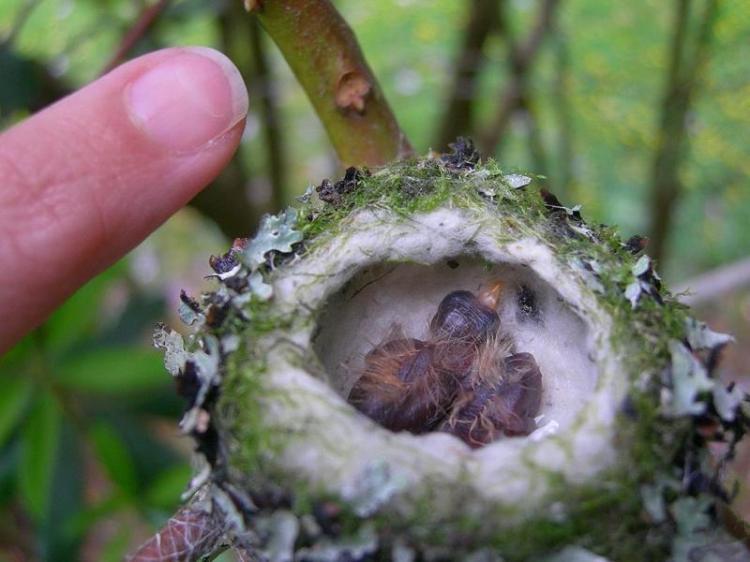 hummingbird-babies
