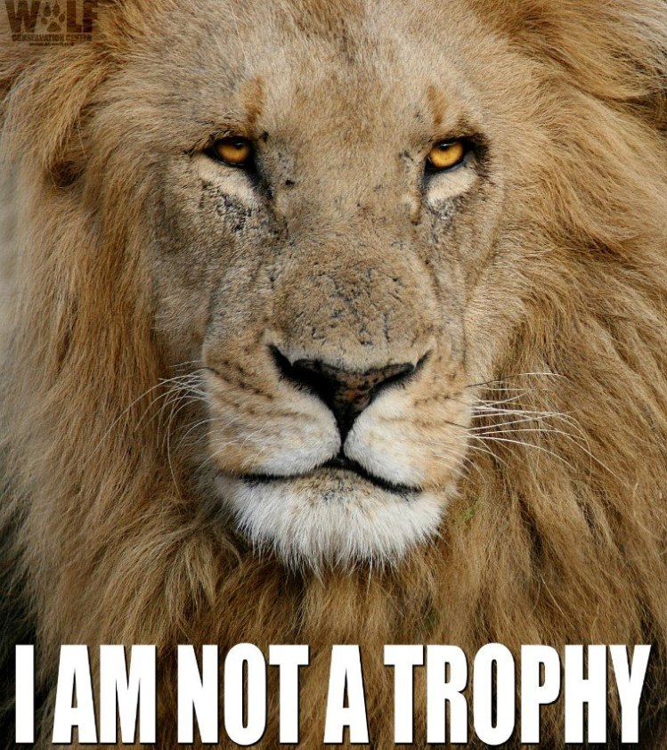 Lion-not a trophy