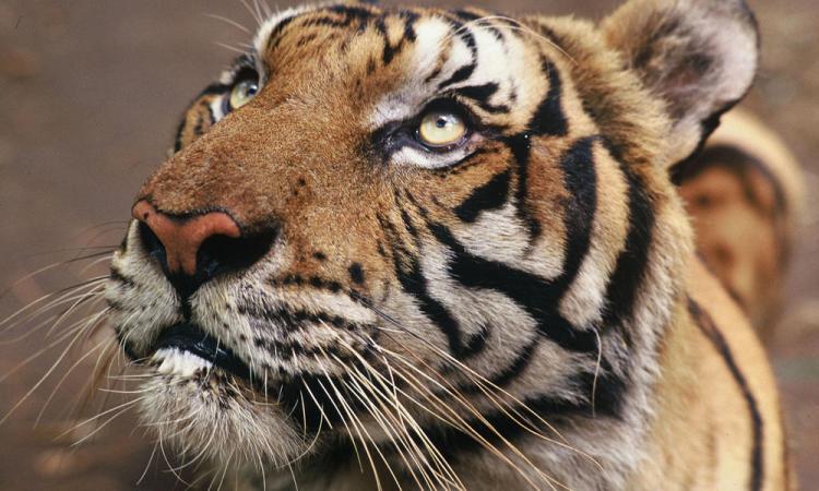 Tiger, Petchaburi, Thailand