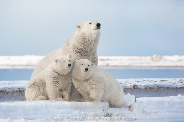 Polar bear, Arctic National Wildlife Refuge