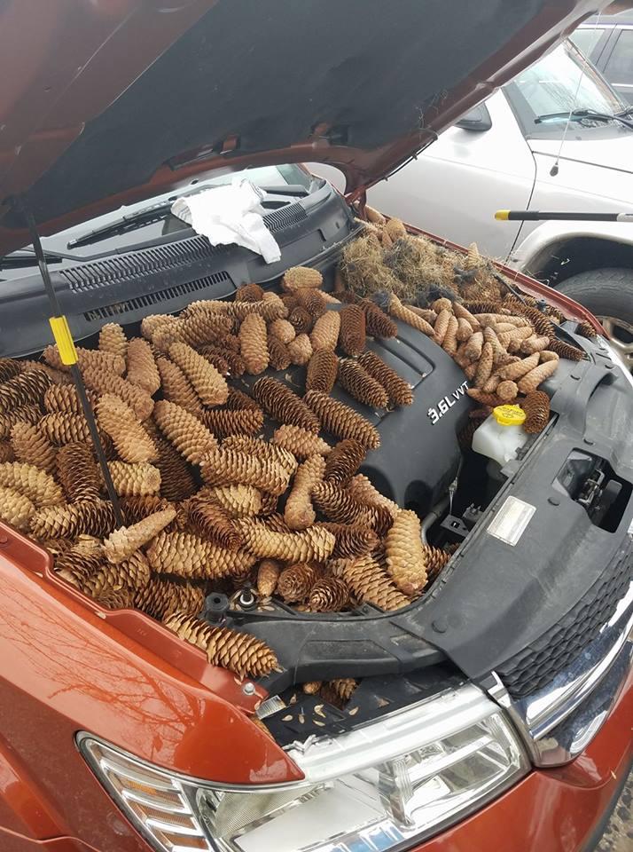 pinecones under hood