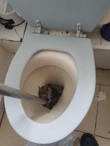 squirrel in toilet