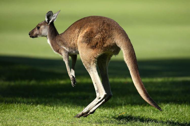 kangaroo-3