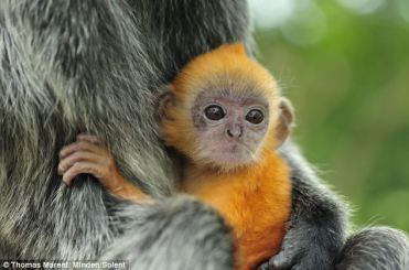 langur-monkey-2