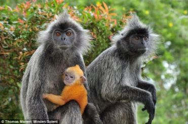 langur-monkey-3
