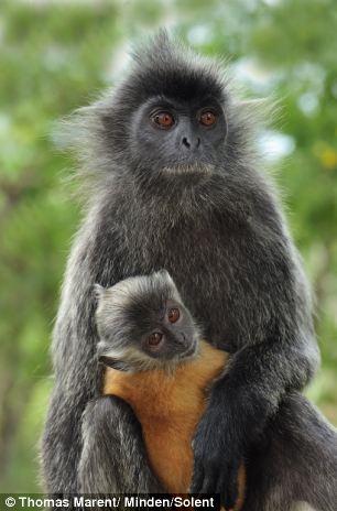 langur-monkey-4