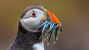 puffin-fish-in-mouth