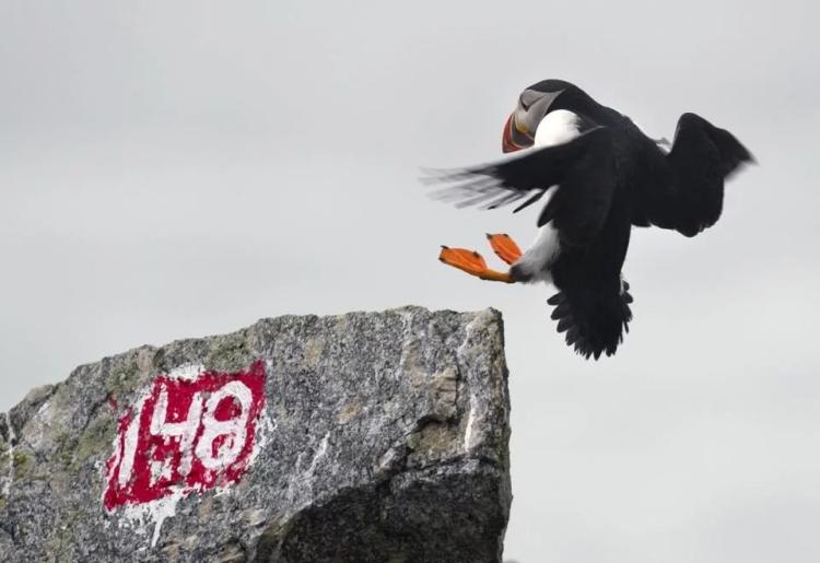 puffin-landing