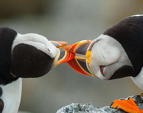 Puffins-kissing