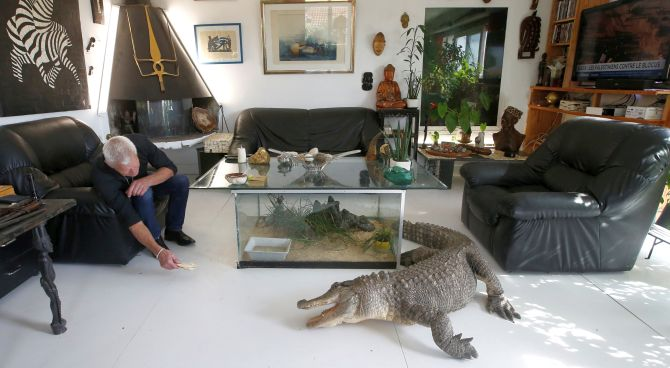 Philippe Gillet, 67 year-old Frenchman who lives with more than 400 reptiles and tamed alligators, gives chicken to his alligator Ali in his living room in Coueron near Nantes