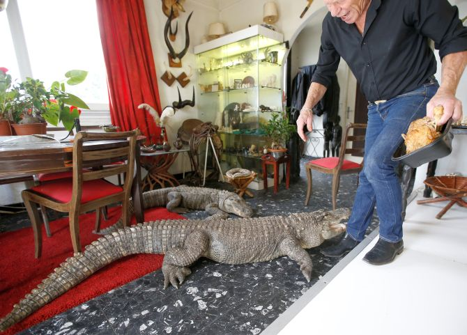 Philippe Gillet, 67 year-old Frenchman who lives with more than 400 reptiles and tamed alligators, gives chicken to his alligators Ali and Gator in his living room in Coueron near Nantes