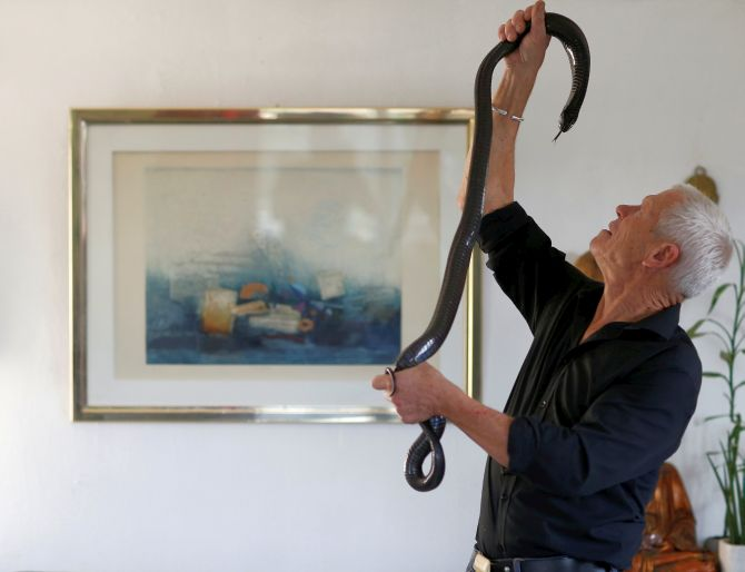 Philippe Gillet, 67 year-old Frenchman who lives with more than 400 reptiles and tamed alligators, looks at his black cobra in his living room in Coueron near Nantes