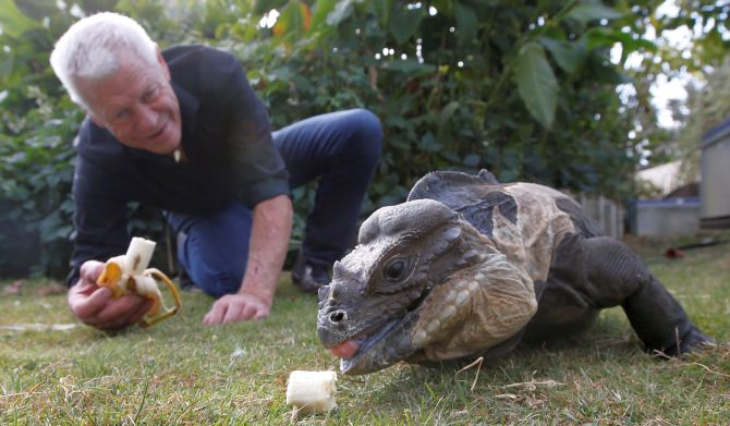 Philippe Gillet, 67 year-old Frenchman who lives with more than 400 reptiles and tamed alligators, gives a banana to his iguana in his garden in Coueron near Nantes