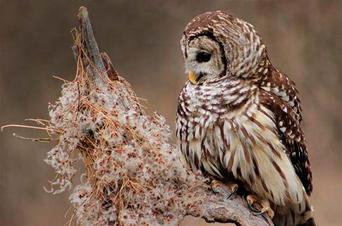Barred-Owl-2