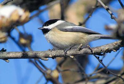 Black-Capped-Chickadee-2