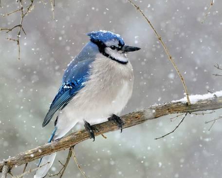 Blue-Jay-2