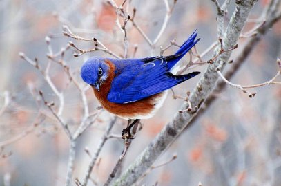 Eastern-Bluebird-1