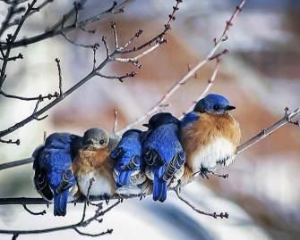 Eastern-Bluebirds