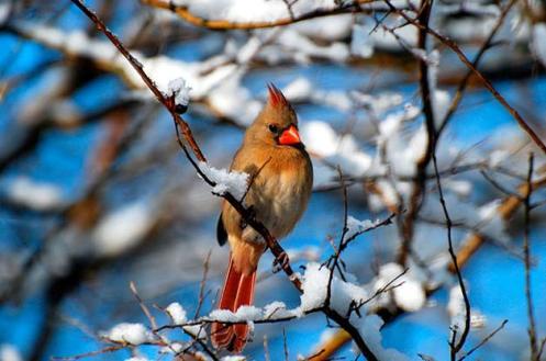 Northern-Cardinal-1