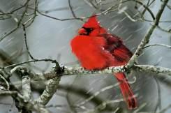 Northern-Cardinal-2