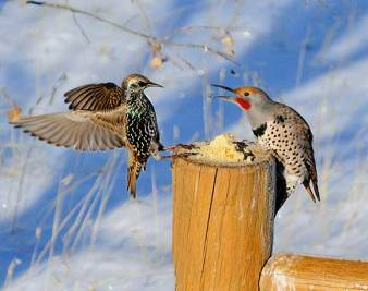 Northern-Flicker-and-European-Starling