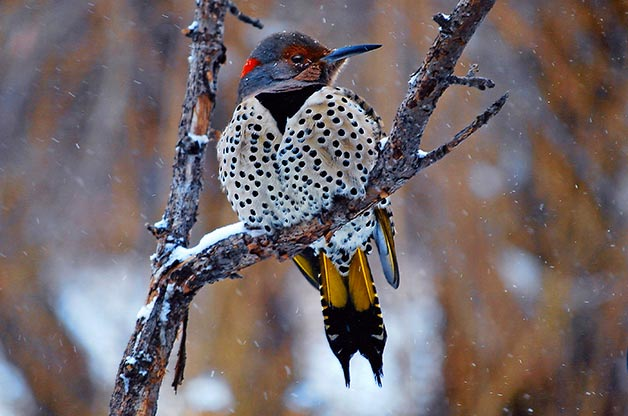 Yellow-Shafted-Flicker